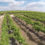 Sticky Raisins to Seedless Grapes:  The History Of The Table Grape